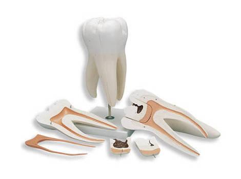 Коренной зуб