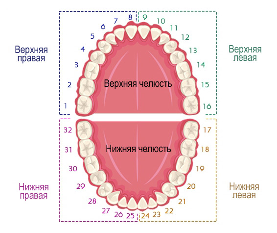 Схема: номера постоянных зубов